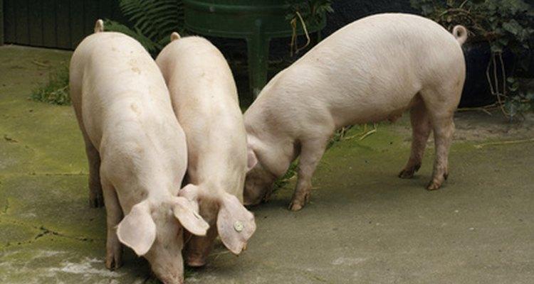 Há diversos termos para descrever os porcos baseado na idade e fase de produção de suínos