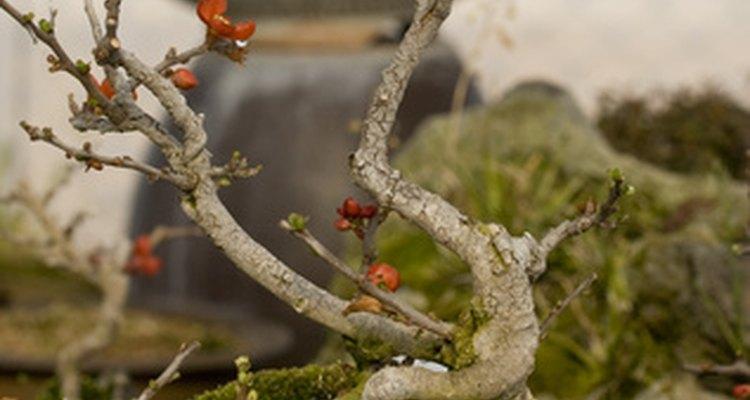 Si tu árbol bonsái se está muriendo tienes la posibilidad de devolverle la vida.