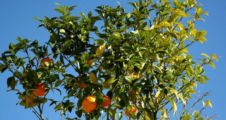 Los naranjos, por lo general, precisan regado extra.