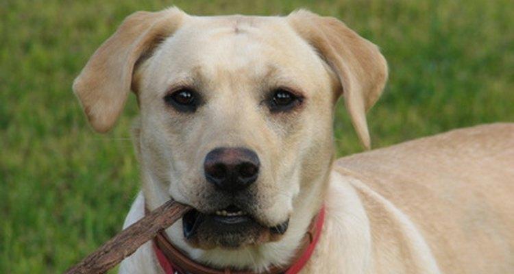 Las obstrucciones intestinales en los perros suelen ocurrir cuando un perro traga algo que no sea alimento.