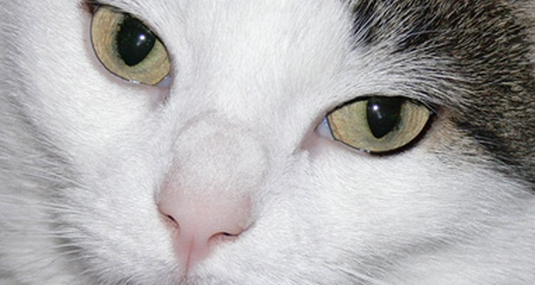 Skin cancer is the second most common cancer in cats