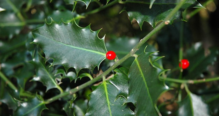 Holly provide interest in your garden all year round.