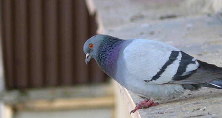 Saiba como repelir pássaros com uma solução caseira