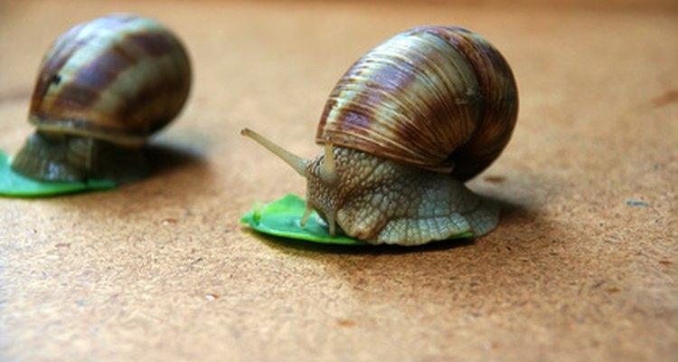 Los caracoles son muy efectivos ya que se alimentan de algas grandes.