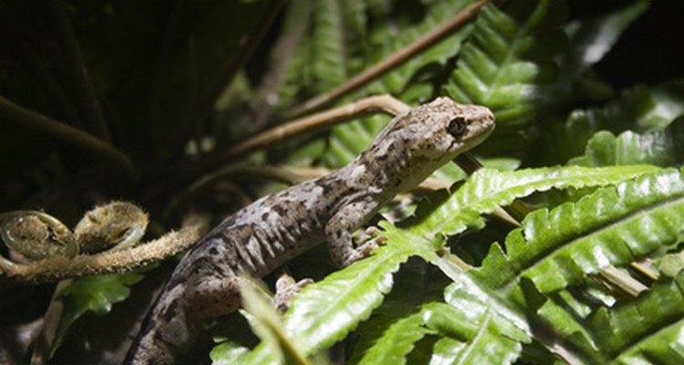 As lagartixas existem em várias cores