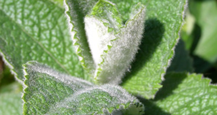 Menthol is extracted from mint oils.
