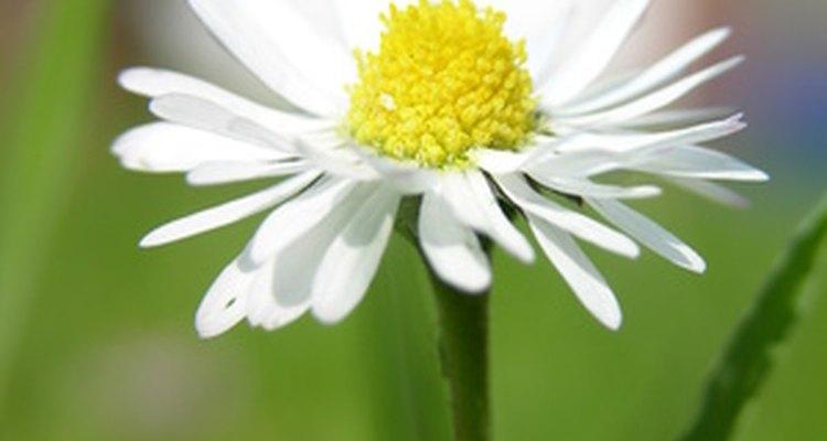 La margarita es una flor popular que se ha destacado en mitos y leyendas.