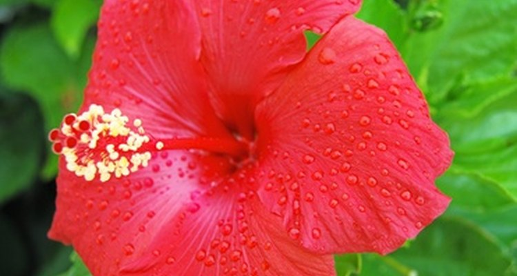 The hibiscus is noted for large, showy and profuse blooms.