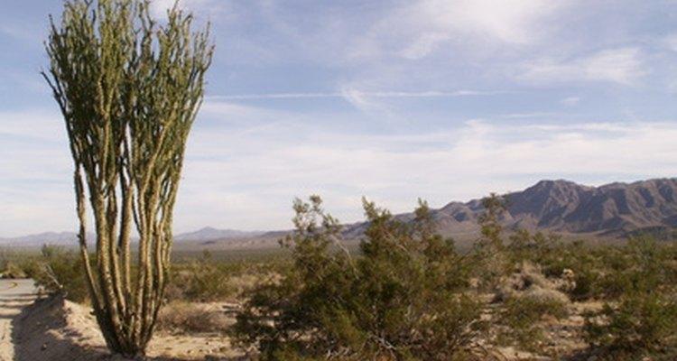 Muitas espécies de plantas se adaptaram para sobreviver ao deserto.
