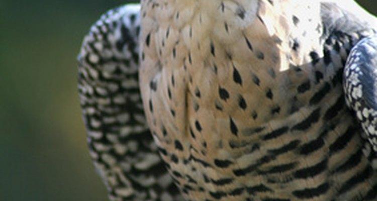 Los halcones pueden alcanzar velocidades de 220 millas (354 km) por hora