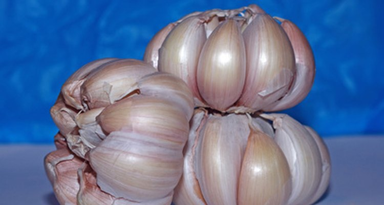 Fresh bulbs of garlic