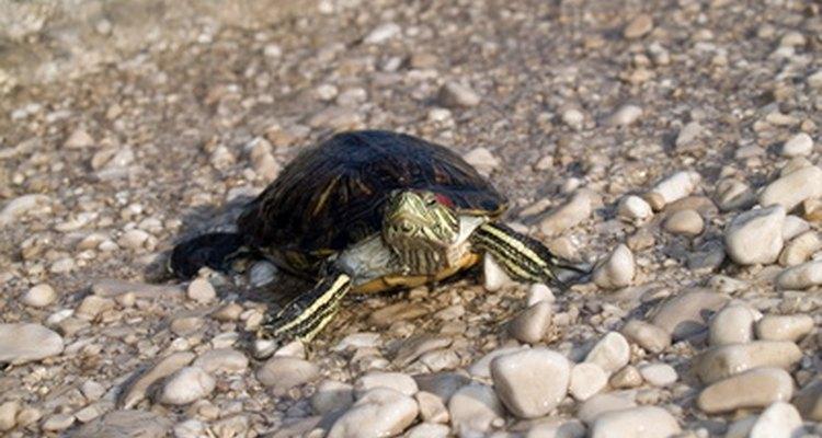 Filhotes de tartaruga crescem rapidamente