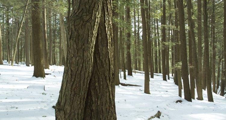 Eastern and western hemlocks are North American conifers.