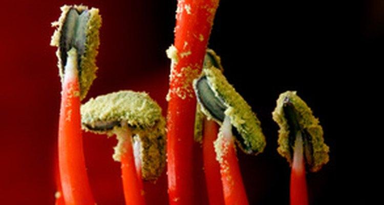 La polinización resuta en semillas que producn nuevas y distintivas flores.