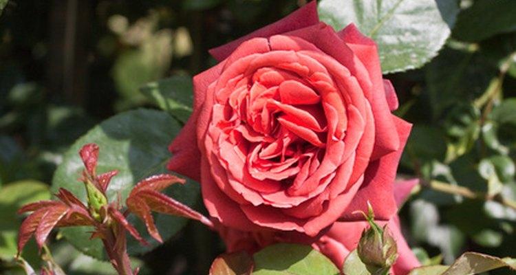 Compra un rosal para simbolizar tu amor.
