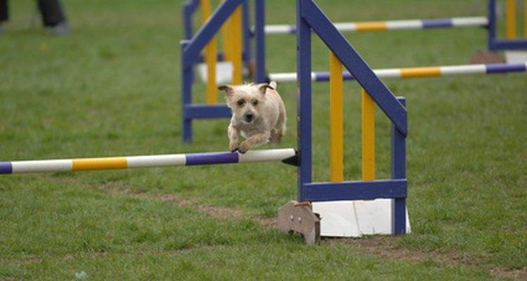 Es sencillo armar tu propio equipo para el deporte de agilidad para tu perro.