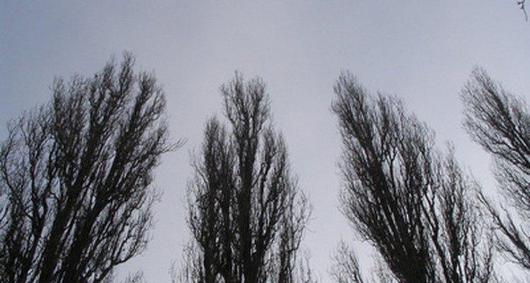 Poplar trees make good windbreaks, decorative trees and have pliable wood.