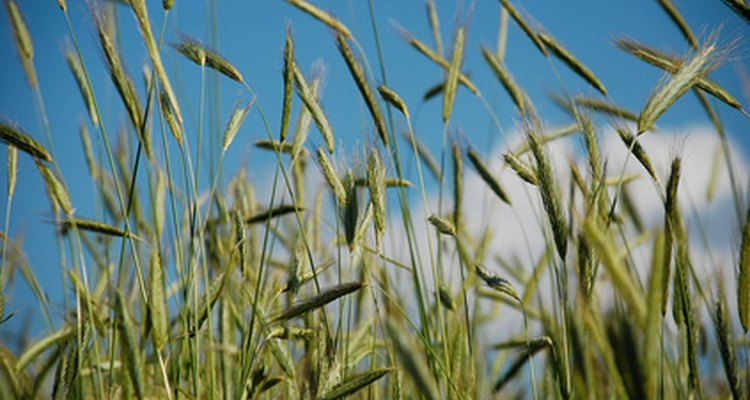 Rye requires little water, making it a reliable food source.