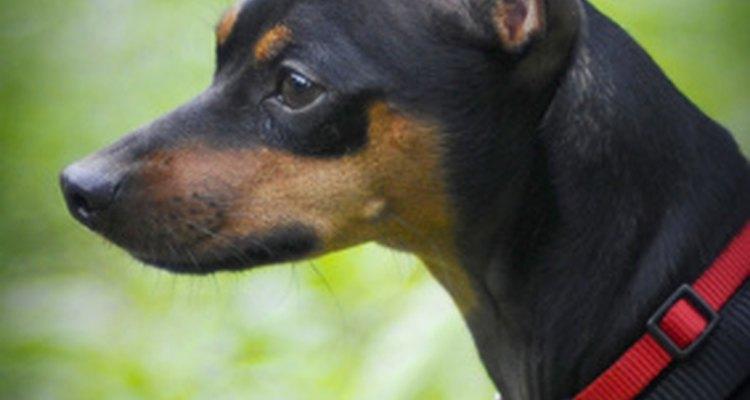 As orelhas do pinscher miniatura devem ser cortadas para atender ao padrão da raça