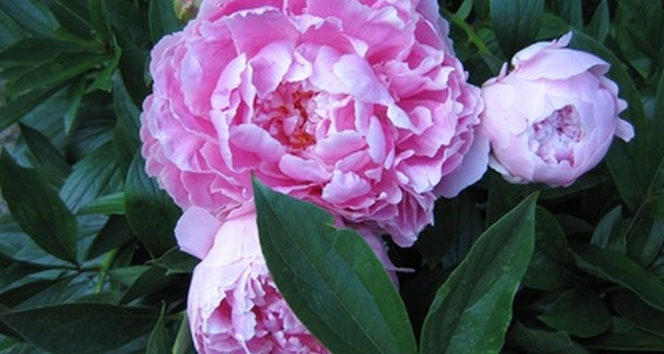 Peonies were first grown in China.