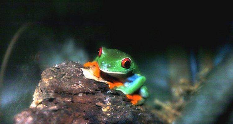 Las ranas de árbol de ojos rojos también comen plantas.