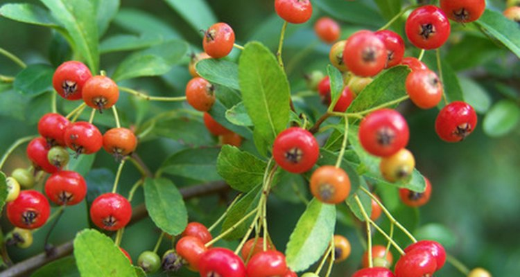 Red berries add unexpected colour to green trees.