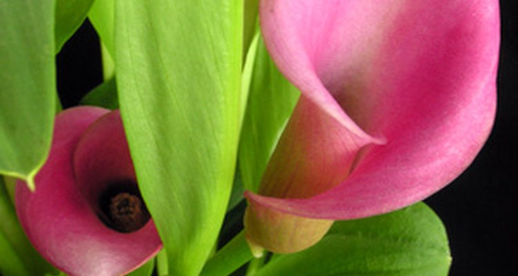 Calla lilies pair well with full, sun-loving plants and flowers.