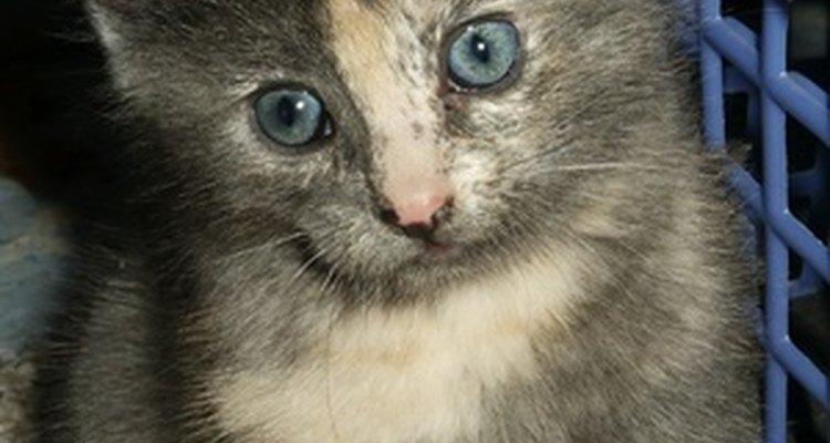 Los gatos tienen un período gestacional relativamente corto que promedia 63 días.