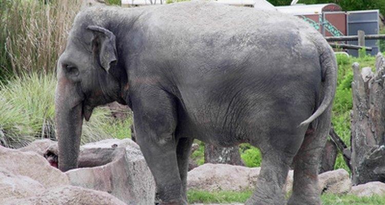Este elefante es parte de un ecosistema.
