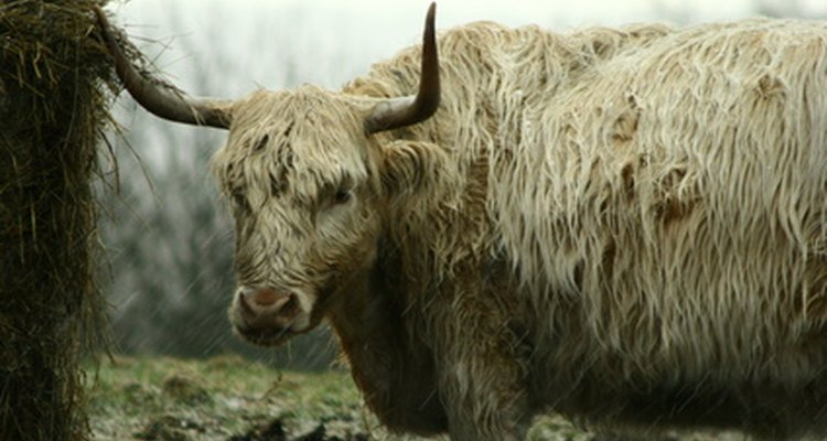 Highland cattle come in a variety of colours.