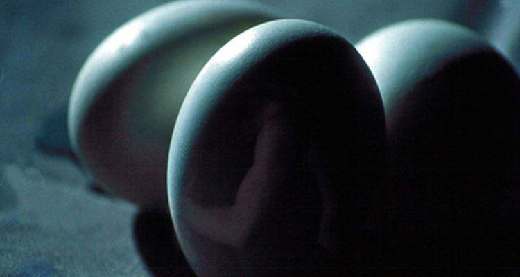 En los pollos el desarrollo de huevo hasta la salida del cascarón tarda sólo 21 días.
