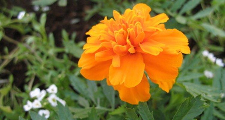 Las caléndulas son flores deliciosamente alegres para las hadas.