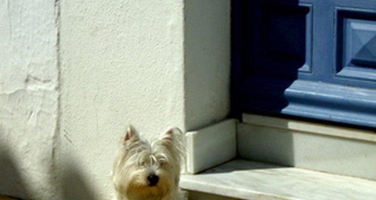 En ocasiones los perros pequeños tiemblan sin una razón aparente.