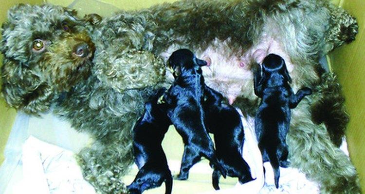Toma medidas extra para asegurarte de que tu perra esté tranquila durante el parto. Acaríciala y quédate con ella.