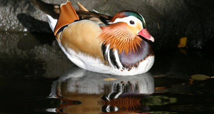 Mandarin ducks are one of the most colourful breeds of duck.