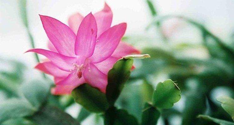 Los cactus de navidad que florean en invierno necesitan poca luz y agua.