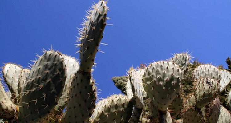 Después de cosechar los cactus, elimina las afiladas agujas o córtalos en trozos pequeños y así evitarás que el ganado sufra lesiones mientras come.