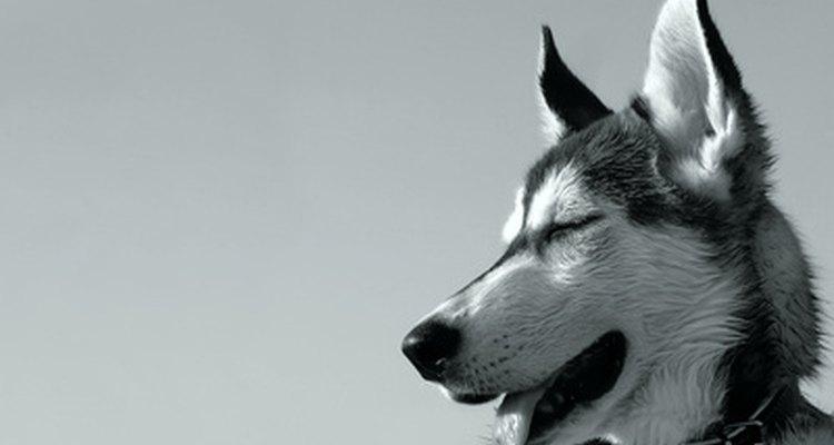 Los cachorros husky requieren dueños con personalidad firme.