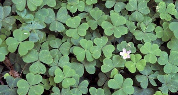 Follaje y flores de la planta del trébol.