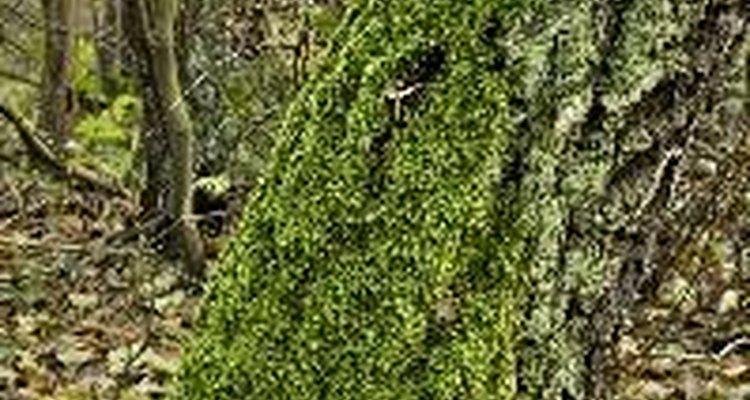 Recientemente ha habido un interés en el uso de las agallas de roble como una fuente de pesticida natural.