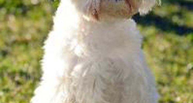 Enfermedades bucales en el perro maltés.