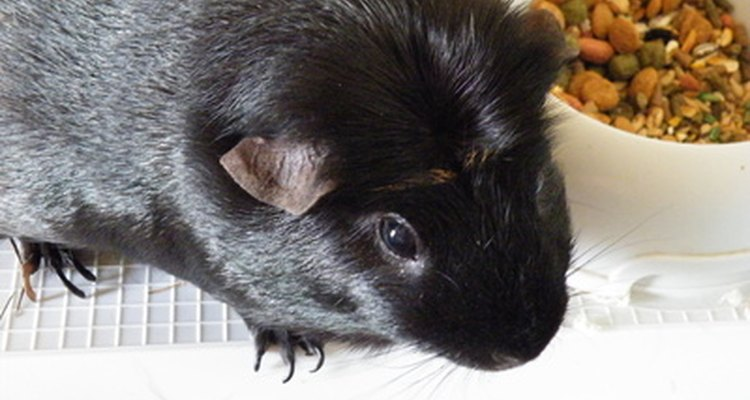 Guinea pigs with bladder cancer may exhibit a loss of appetite.