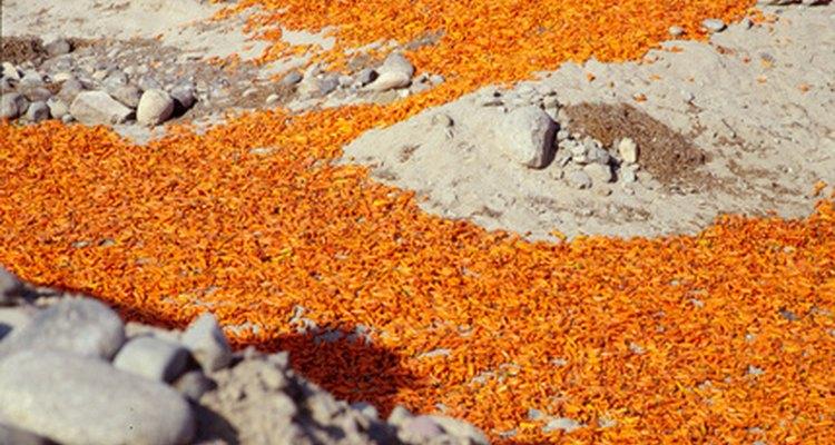 Los ajís naranjas son comunes en la cocina peruana