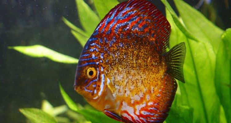 Un pez disco muestra sus colores y prefiere acuarios con vegetación y anda en grupos pequeños.