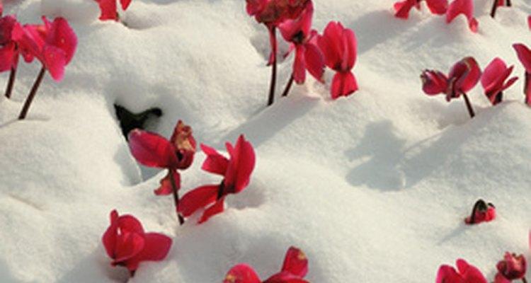 El cyclamen florece incluso através de la nieve pesada.