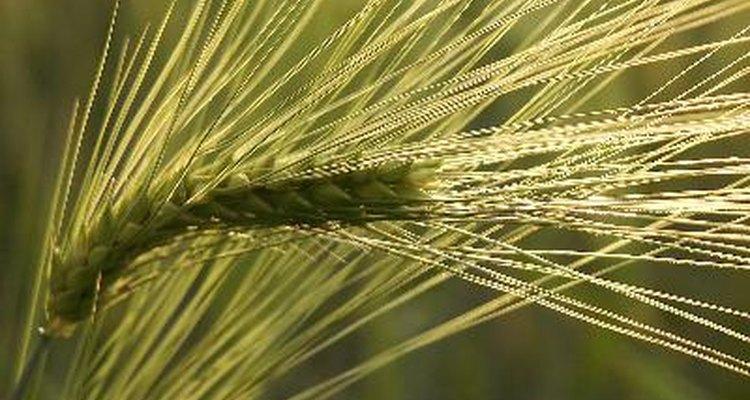 Los cereales, panes y alimentos horneados con Kamut contienen gluten.