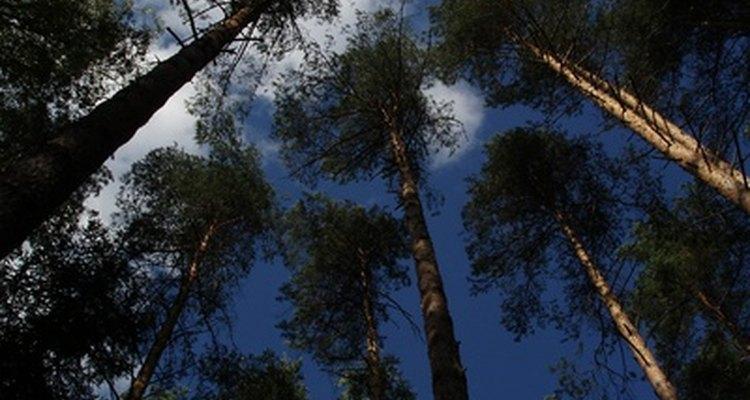 Los pinos se desarrollan bien en suelos arenosos.