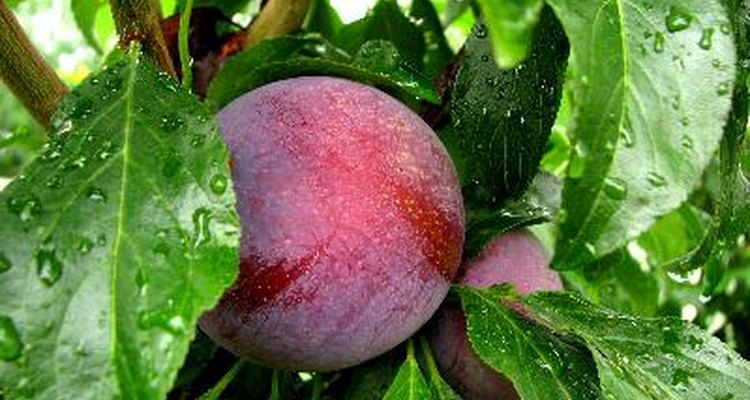 Plum trees, which produce stone fruit, are related to peaches, nectarines and apricots.