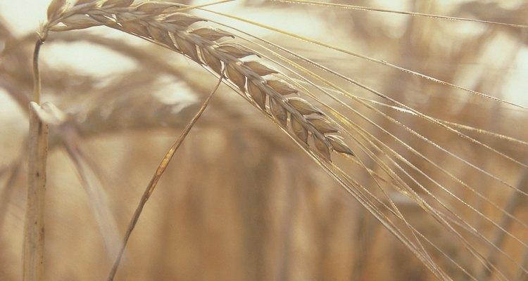 Los cereales de trigo son populares pero controvertidos.