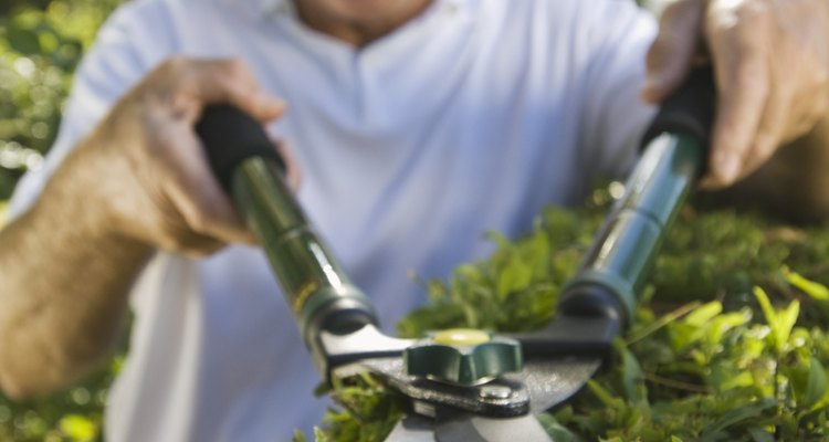 El laurel (prunus laurocerasus rotundifolia) es una planta de crecimiento rápido que resulta adecuada para utilizarse como seto o para frenar el viento.
